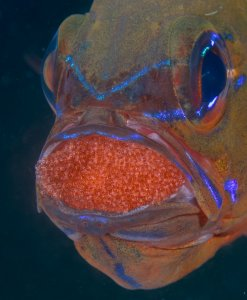 Mr. Mom cardinalfish protects the developing eggs of its mate