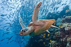 green turtle with schooling jacks