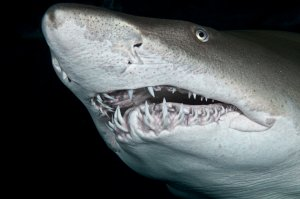 face of a sand tiger shark