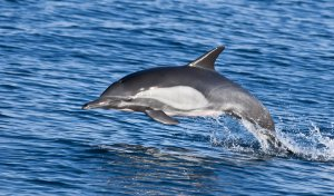 common dolphin races across the surface