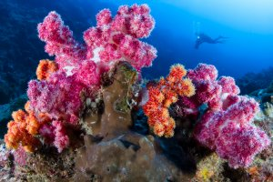 diver with colorful soft corals