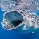 images/underwater/7_20140706_whale_sharks_01-69-Edit.jpg